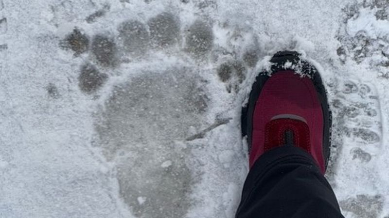 A brown bear leaves its print in an  Anchorage neighborhood