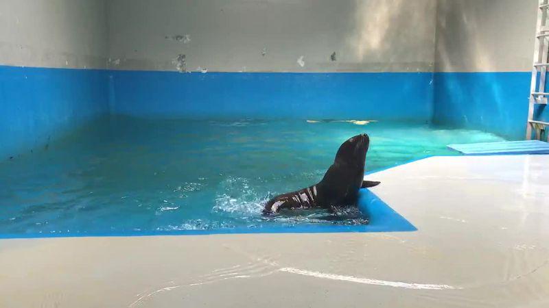 Stellar sea lion pup tries to get out of pool at Alaska SeaLife Center.