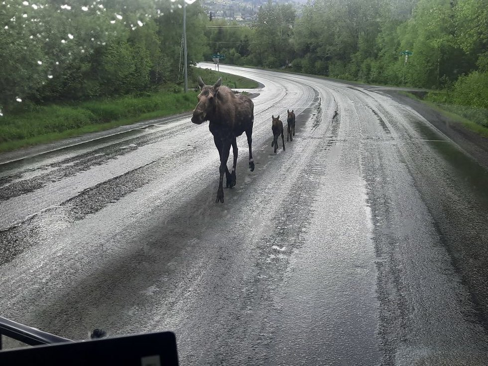 Moose family saunters past a garbage truck making its morning rounds. George. 6-2-21