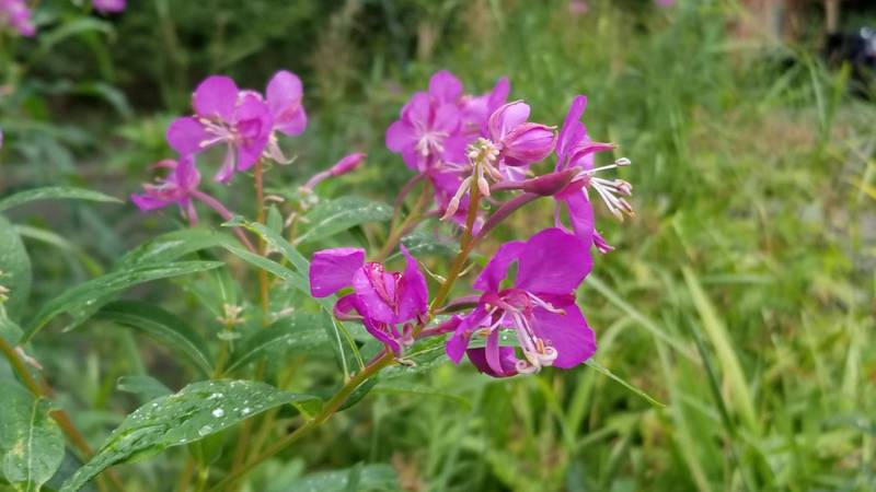 The Eagle River Nature Center is looking for fireweed blossoms to make a special beer for its...