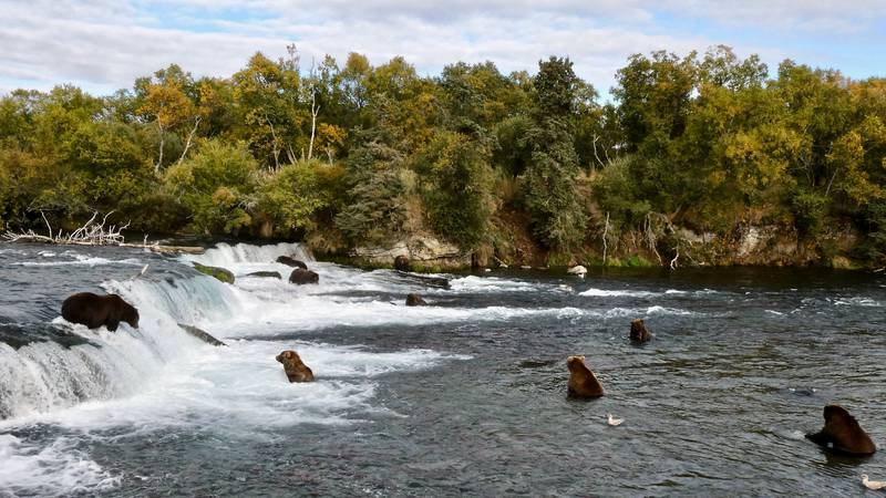 Alaska's brown bears fatten up for the winter, eating salmon at Brooks Falls.