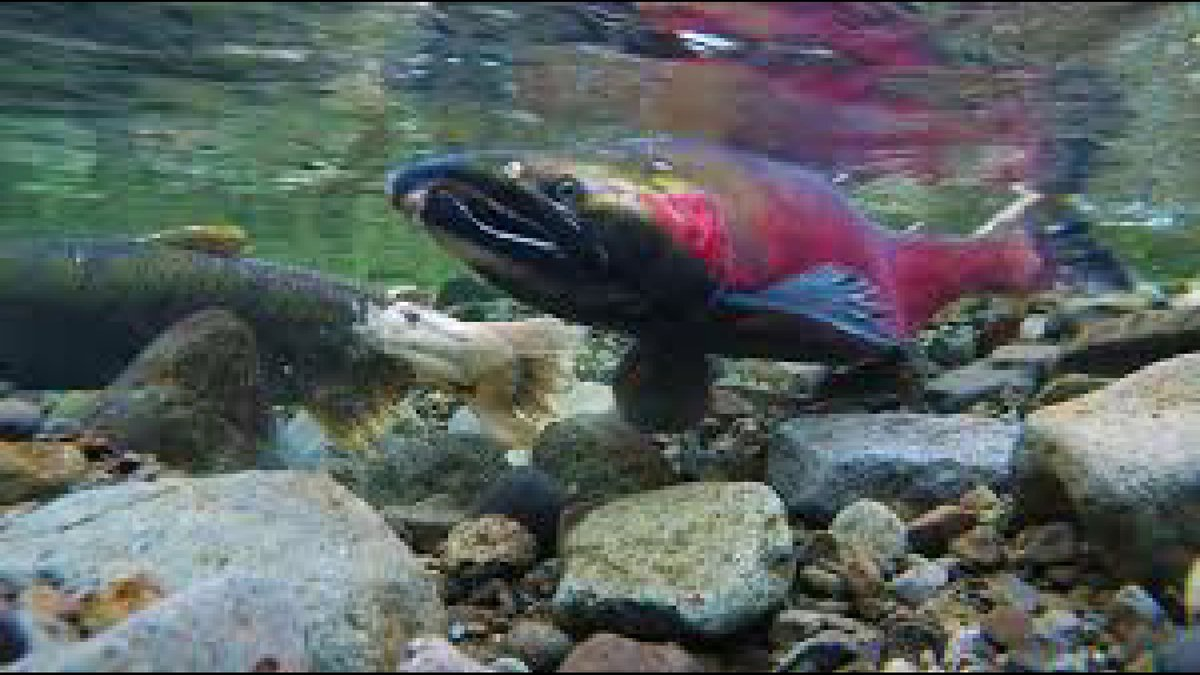 Image of chinook salmon.