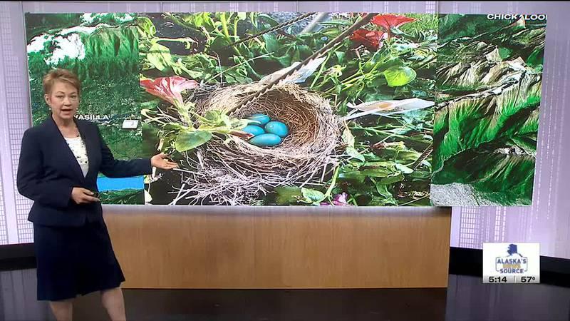Bright blue robin eggs in a nest-Pamela Speer_JP studio
