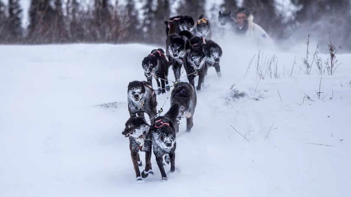 A musher and his dog team during the 2021 Kobuk 440.