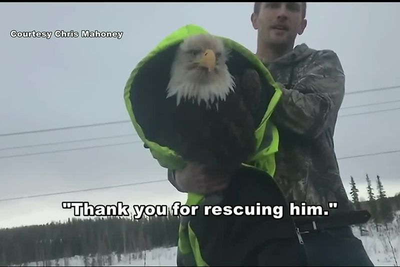 Brian Gharst holds an injured eagle he rescued near mile 80 of the Parks Highway.