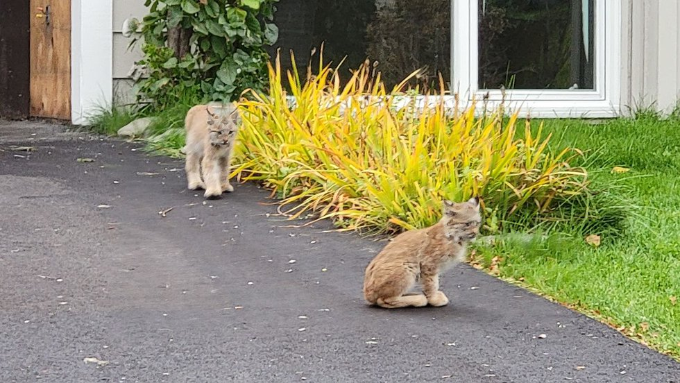 Three lynx kittens in a South Anchorage neighborhood were put down on Tuesday by Fish and Game