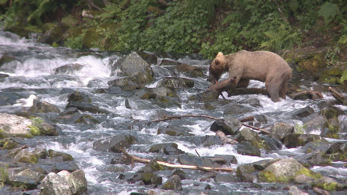 A bear fishes for his dinner near Redoubt Bay. (KTUU)