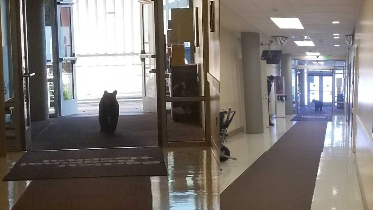 A bear strolls into a Juneau-area hospital. Photos courtesy of Nelea Fenumiai.