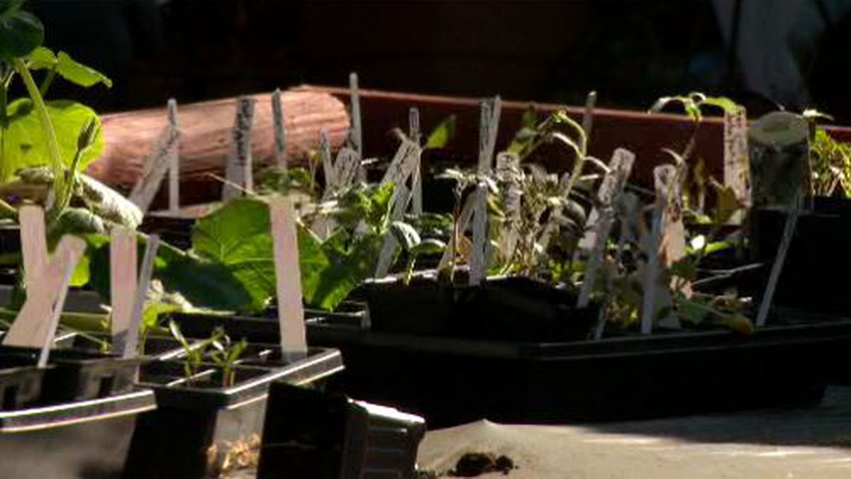 Get ready to garden by hardening off your plants.