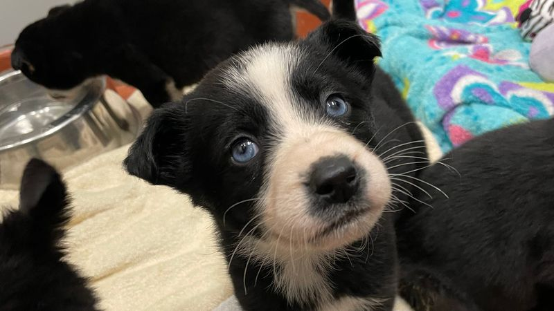 Husky mix puppies at Alaska SPCA are looking for their forever home.
