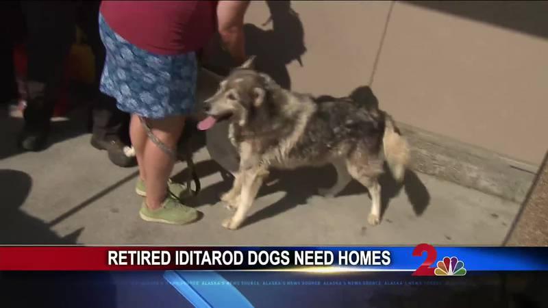 Adopt a retired Iditarod dog