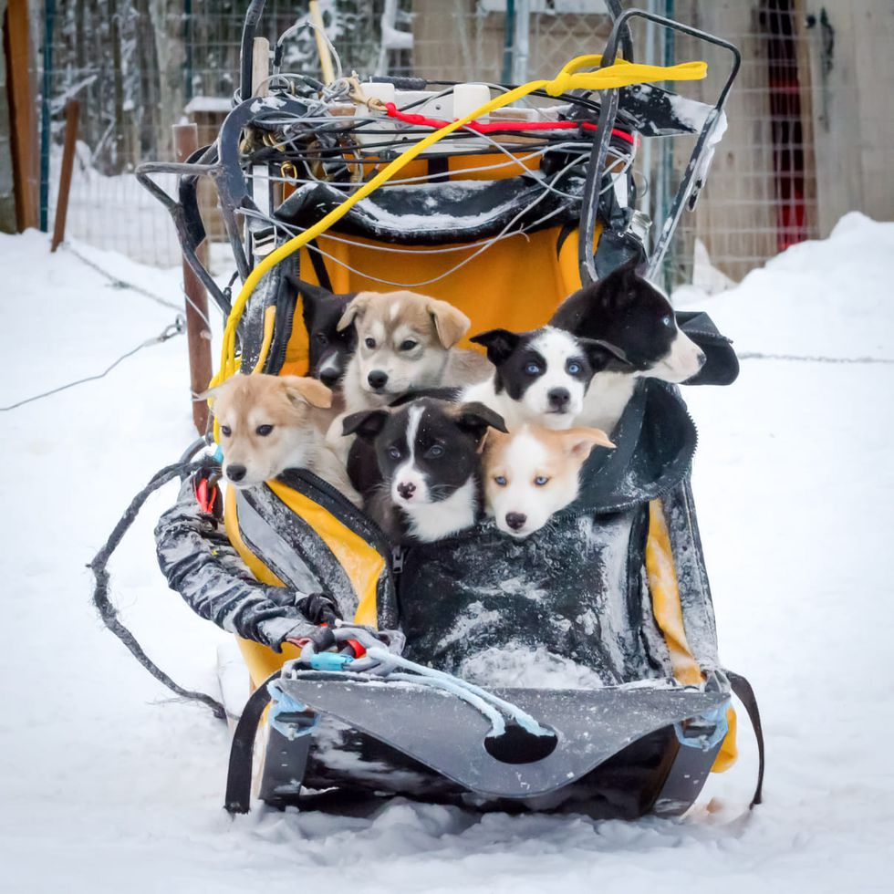 Mushing couple names unplanned litter of puppies after the events of 2020