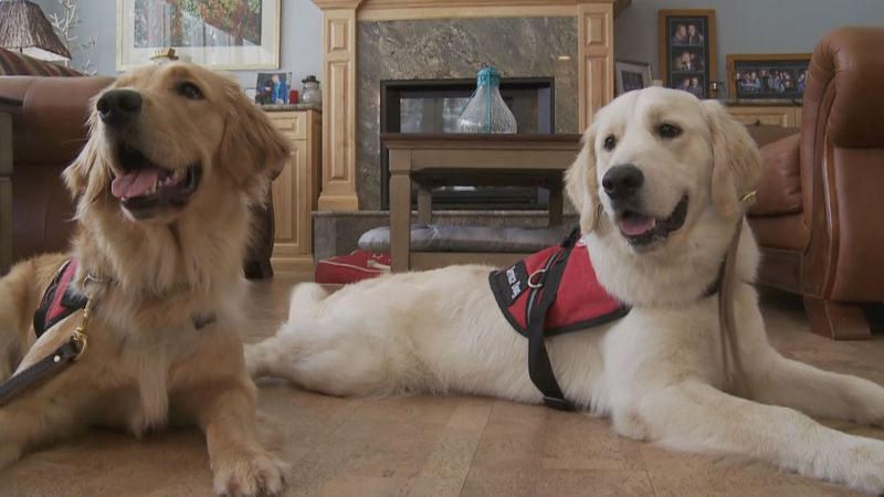 These service dogs in training are two of several in need of weekend foster homes in Alaska.