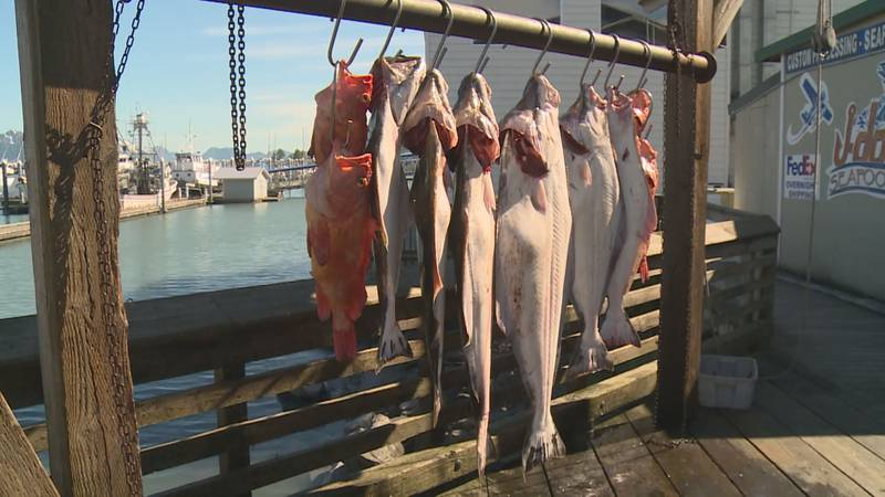 Fish hung at the Seward Harbor after being caught on a guided fishing trip.