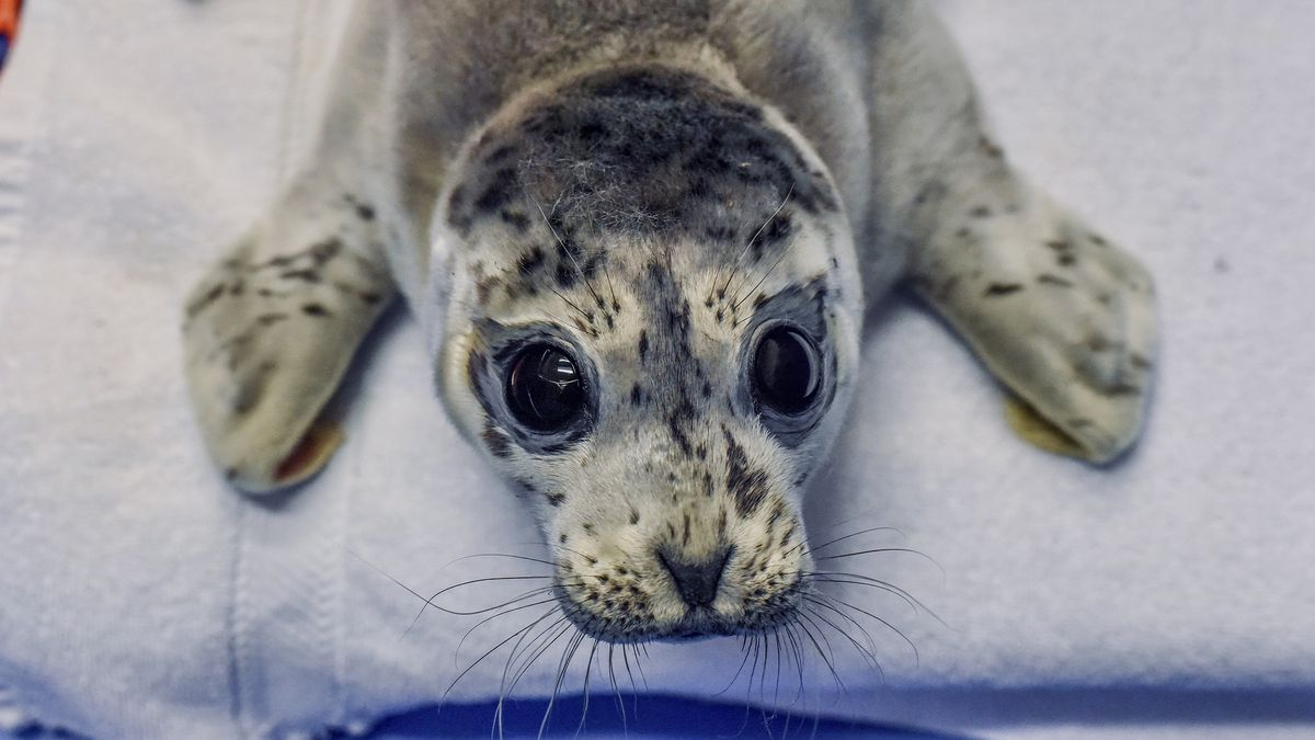 Seal harbor pup rescued from the waters near the Haines ferry terminal (Photo from Alaska SeaLife Center, NOAA SA-AKR-2019-01)