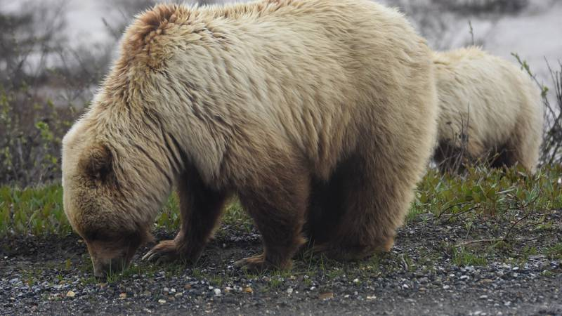 In this file photo, a grizzly and her large cub roam alongside Denali Park Road. (National Park...