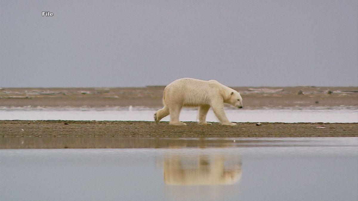 A polar bear walks along the ice-free coast of Alaska's North Slope (Image from KTUU Archives)