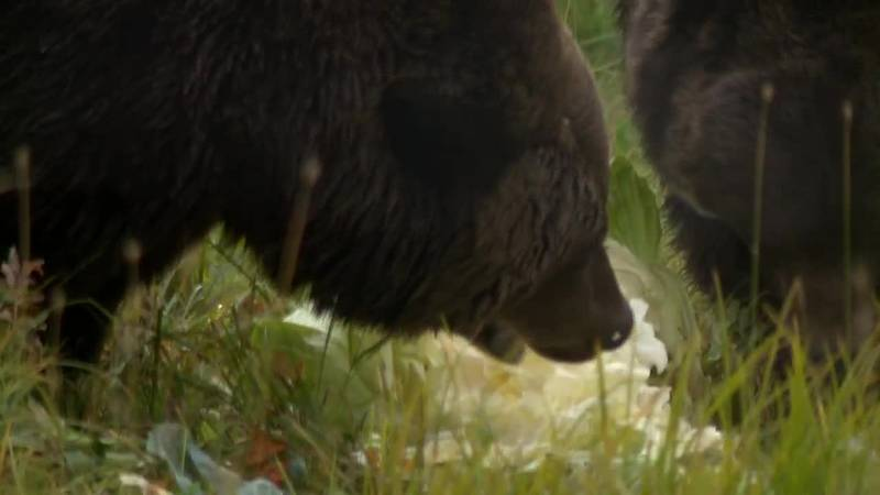 The Alaska Wildlife Conservation center feeds their bears the leftover produce from the state...