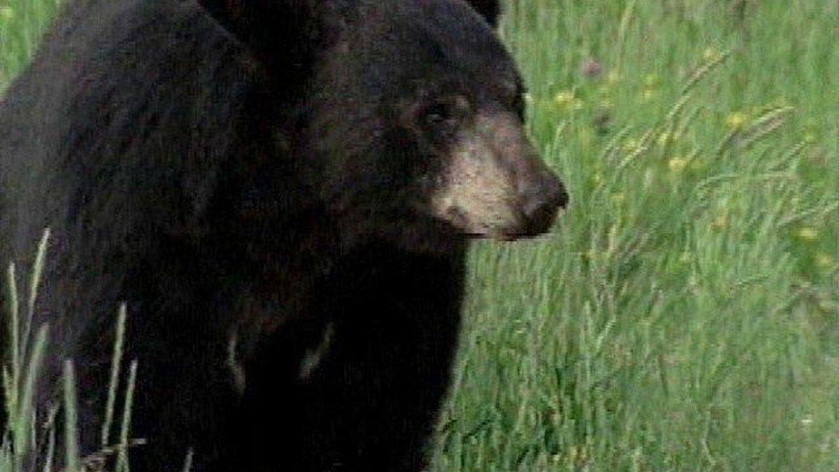 Black Bear (File Photo)